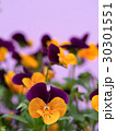 ビオラ 花 咲くの写真 30301551
