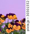 ビオラ 花 咲くの写真 30301552
