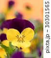 ビオラ 花 咲くの写真 30301565