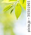 新緑の葉 30301965