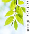 新緑の葉 30301966