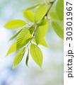 新緑の葉 30301967