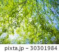 新緑の森 30301984