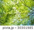 新緑の森 30301985