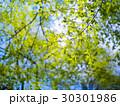 新緑の森 30301986