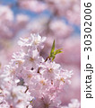 シダレザクラ 30302006