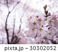 サクラの花 30302052