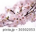 サクラの花 30302053