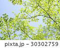 新緑 葉 青空 初夏 30302759