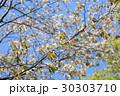 ヤマザクラの花 30303710