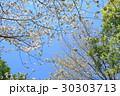 ヤマザクラの花 30303713