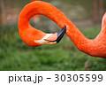 鳥類 鳥 水鳥の写真 30305599