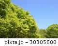 新緑 若葉 楓の写真 30305600