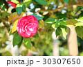 ツバキの花 30307650