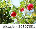 ツバキの花 30307651