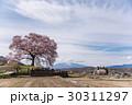 山梨 わに塚の満開の桜 30311297