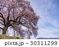 山梨 わに塚の満開の桜 30311299