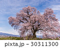山梨 わに塚の満開の桜 30311300