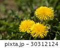 春の野原のイメージと光の中のタンポポ 30312124