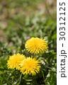 花 タンポポ 野草の写真 30312125
