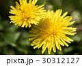 春の野原のイメージと光の中のタンポポ 30312127