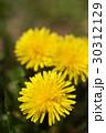 春の野原のイメージと光の中のタンポポ 30312129