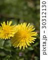 花 タンポポ 野草の写真 30312130