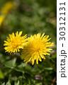 春の野原のイメージと光の中のタンポポ 30312131