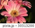 ガーベラ 花 植物の写真 30313200