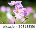 コスモス 花 昆虫の写真 30313560