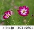 キリッと咲いたコスモス 30315601