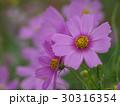 ピンク色したコスモス 30316354