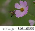 ホシホウジャクと秋桜 30316355