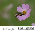 コスモスに肖るホシホウジャク 30316356