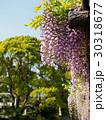 藤棚 藤 花の写真 30318677