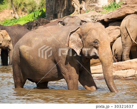 herd of elephants in river elephas maximusの写真素材 30321637