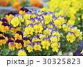 ビオラ 寄植え 花の写真 30325823