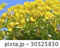 ビオラ 花 春の写真 30325830