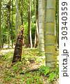 タケノコ 筍 竹の子の写真 30340359