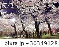 函館・五稜郭公園の夜桜<満開> 30349128