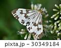蝶 チョウ 蝴蝶の写真 30349184
