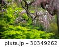 藤 フジ 藤園の写真 30349262