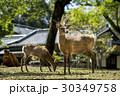 奈良公園の鹿 30349758
