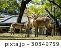 奈良公園の鹿 30349759