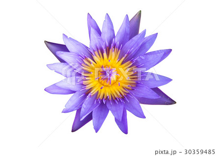 Fold Lotus isolated on white with clipping pathの写真素材 [30359485] - PIXTA