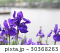 花菖蒲 花 紫色の写真 30368263
