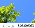 若葉 葉 新緑の写真 30369563