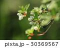 ドウダンツツジの白い花と若葉に新緑 30369567