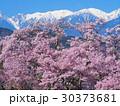 4月長野 中央アルプスと高遠城址のコヒガンザクラ 30373681