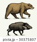 イノシシ 猪 ワイルドのイラスト 30375807